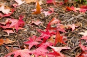 12421051-red-platanus-leaves-on-forest-floor-on-a-rainy-day-in-autumn-fall